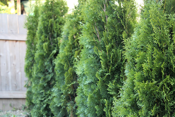 landscaping with evergreens for privacy landscaping in birmingham a